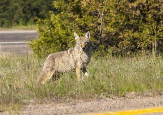 Column: Living with coyotes while protecting our dogs with fences, leashes and good training