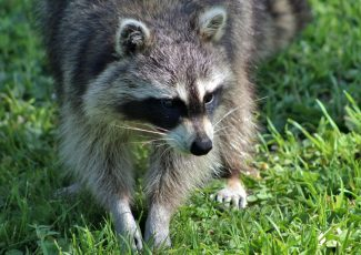 Raccoon near Daffin Heights tests positive for rabies