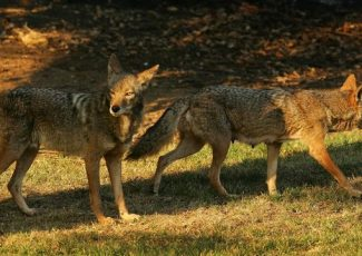 Woman warns others after coyotes attack her dog during daily walk