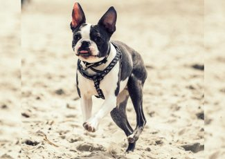Dogs Of Instagram: The Boston Terrier