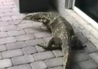 Giant lizard in Florida evades capture, torments family: It's 'terrifying to look at'